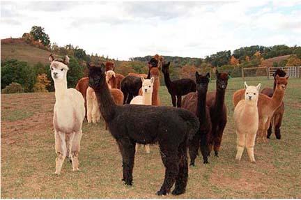 AlpacasComm.jpg